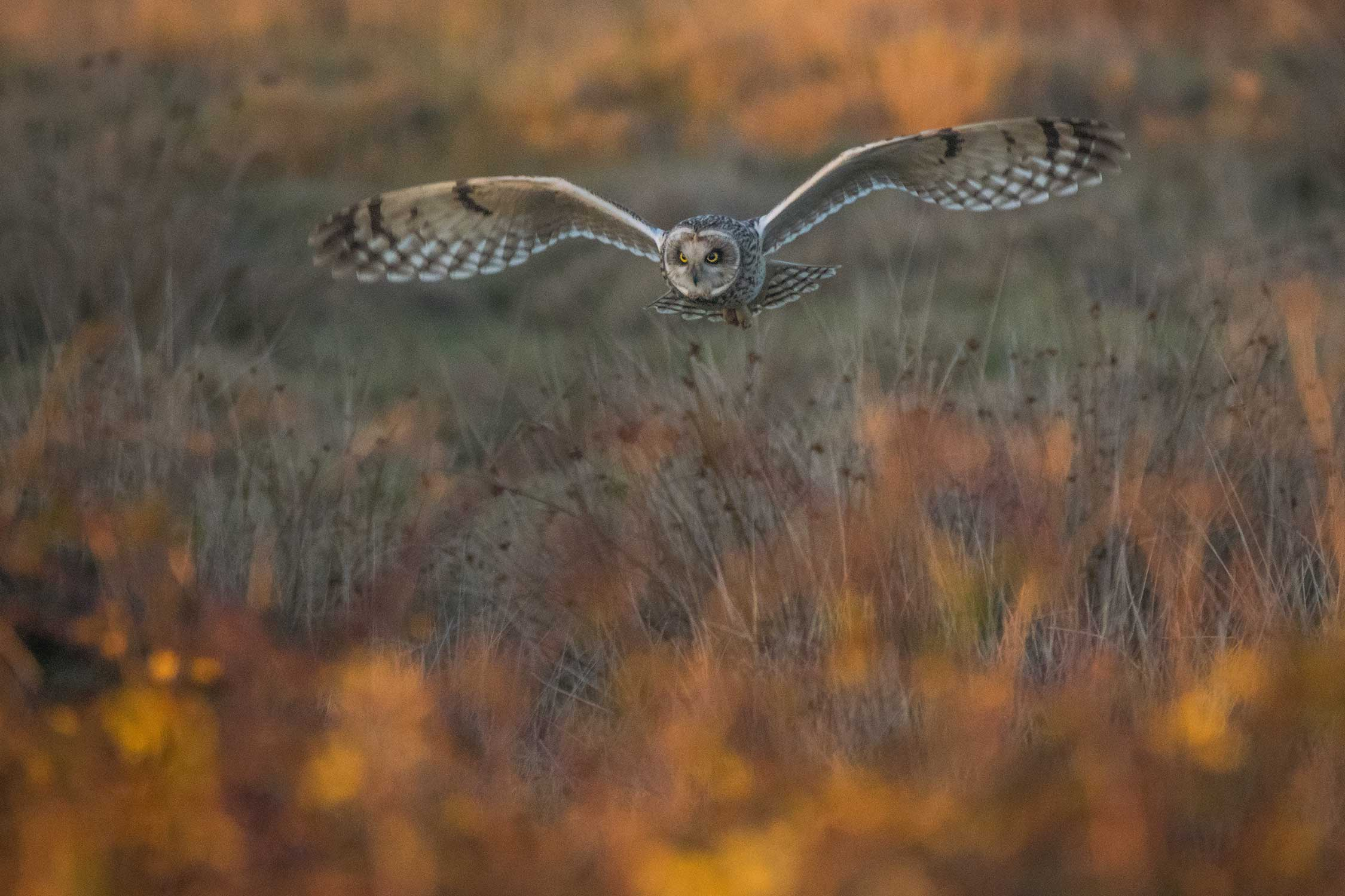 owl hunt british wildlife photography award by matthew roseveare