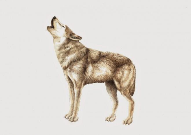 wolf scientific illustration by patricia garcia cruz