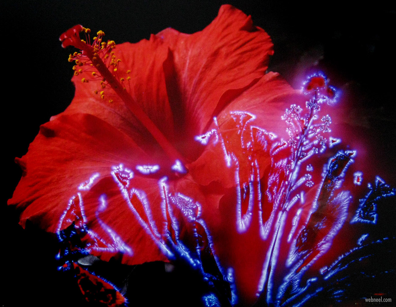 kirlian photography hibiscus