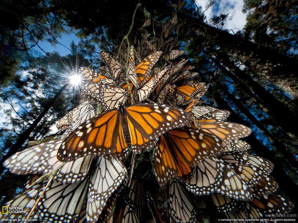 beautiful monarch butterflies in mexico