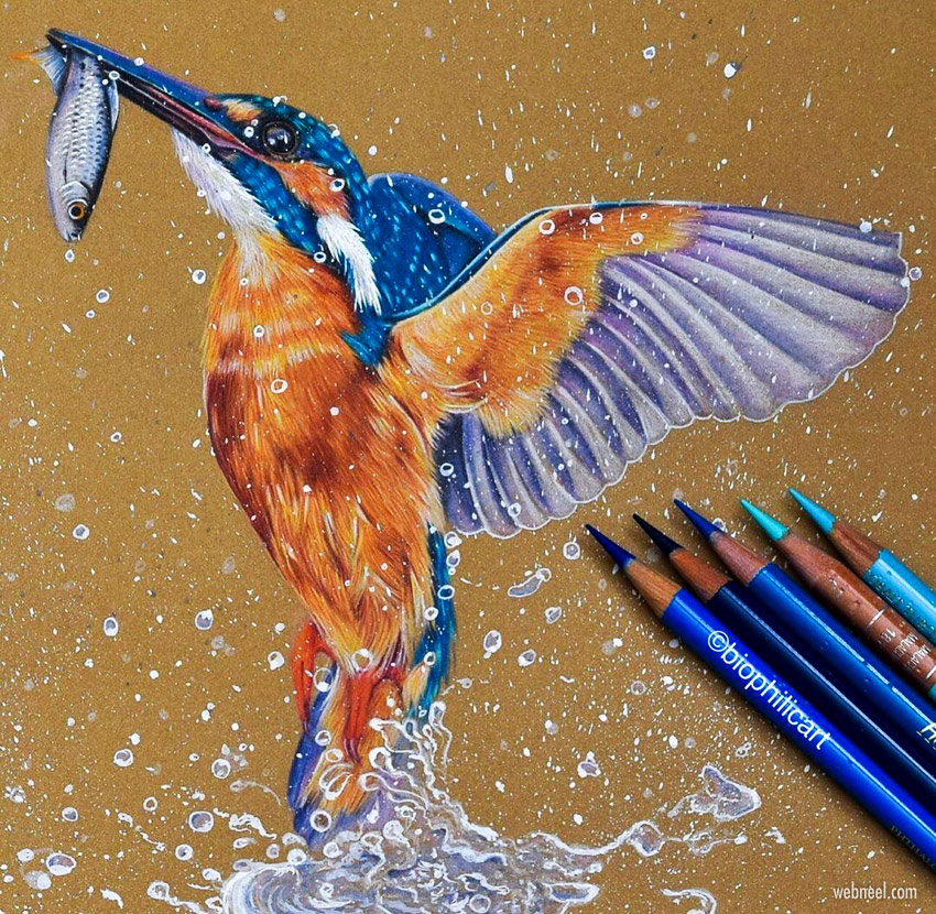 color pencil drawing kingfisher bird by sallyann
