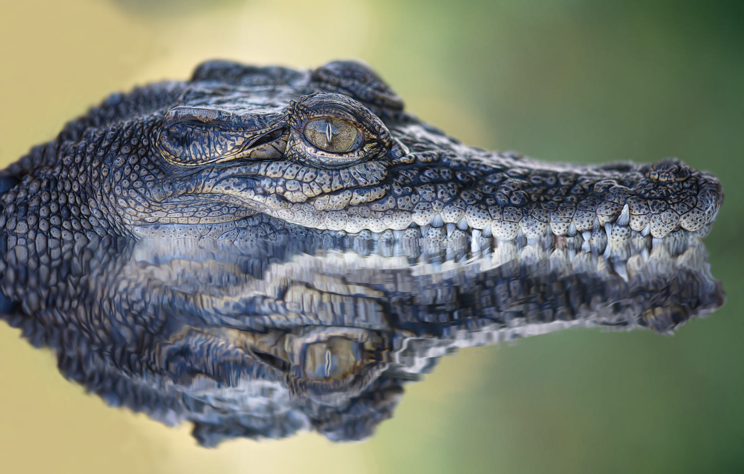 symmetry photography nature crocodile