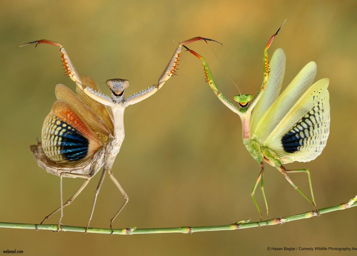 macro photography funny pictures insect dance by hasan baglar