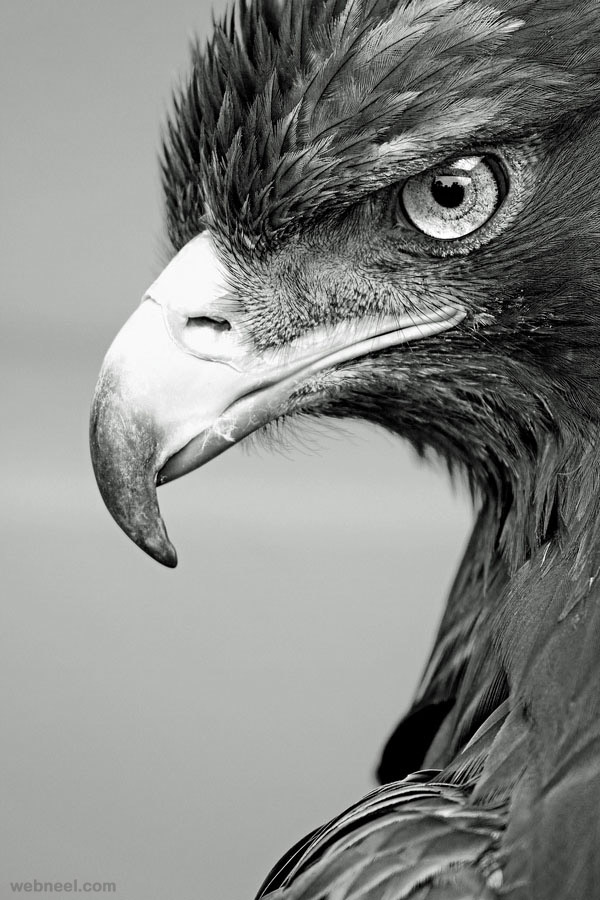 eagle black and white photography by alan hinchliffe