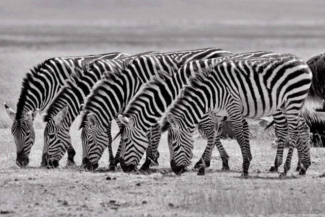 zebras black and white photography by tim allen