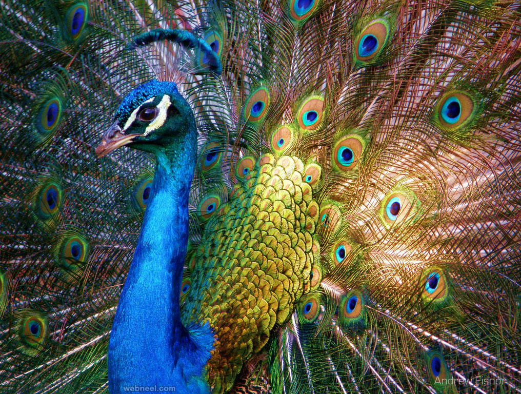 beautiful peacock photo by andrew eisnor