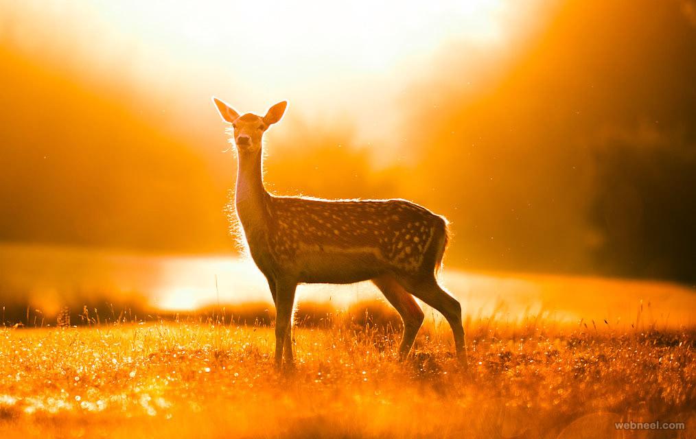 deer wildlife photography