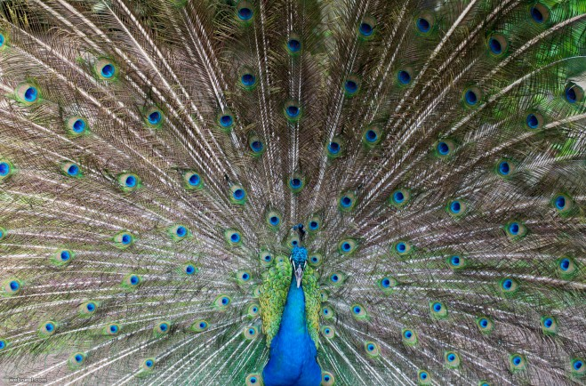 peacock photography by piccaya