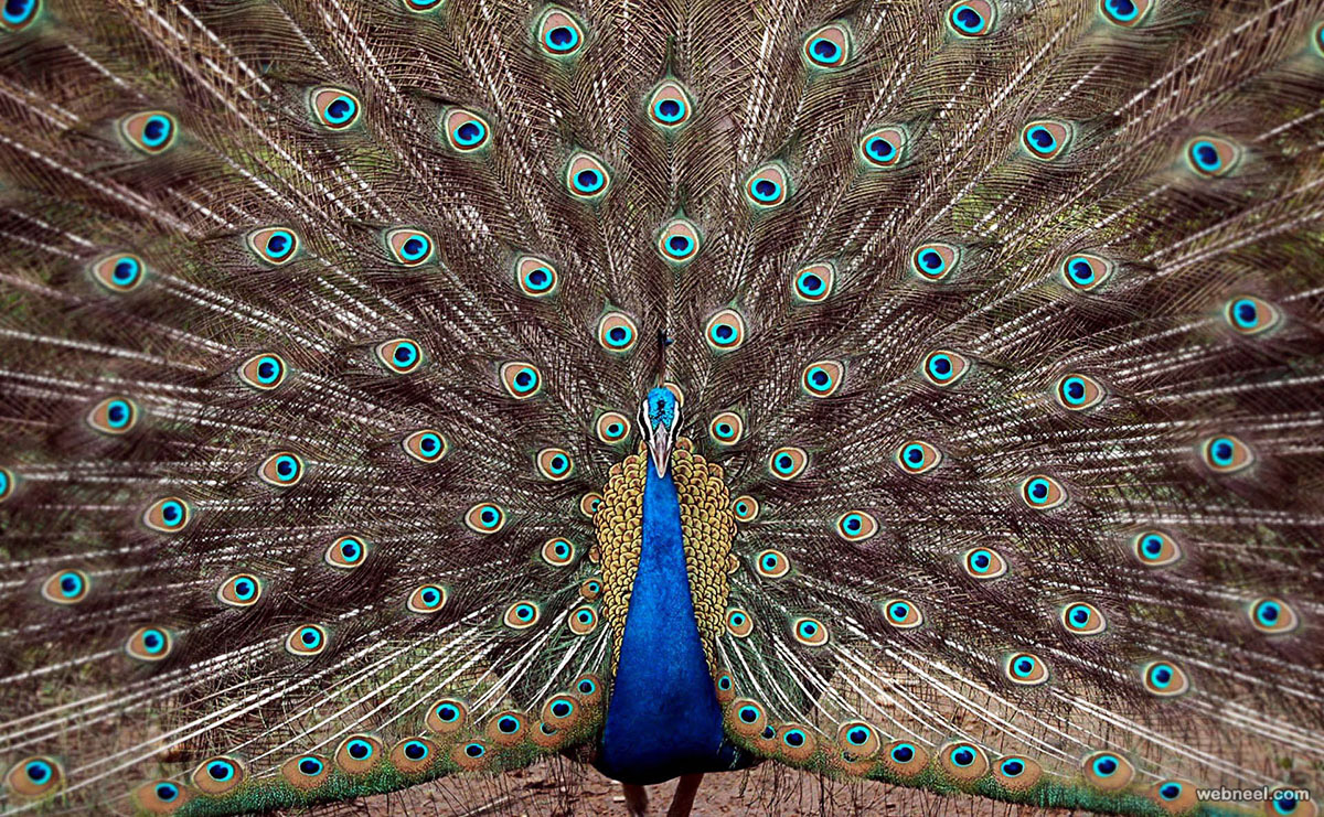 beautiful peacock feather photo