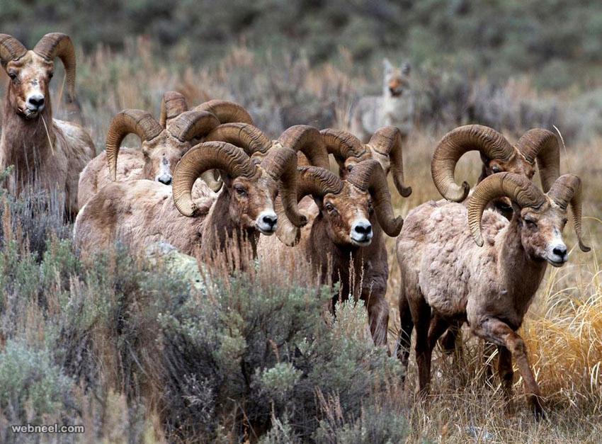 sheep wildlife photography