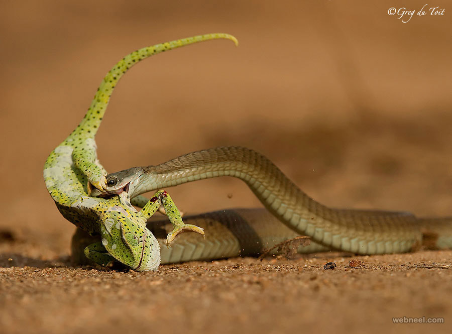 snake wildlife photography by gregdutoit