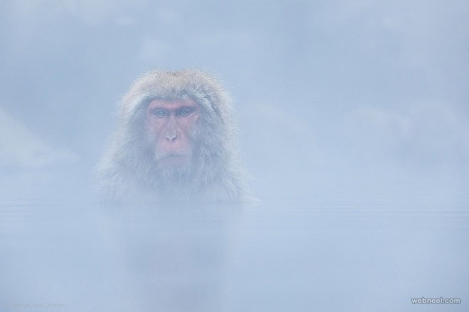 macaque wildlife photography by marselvan oosten
