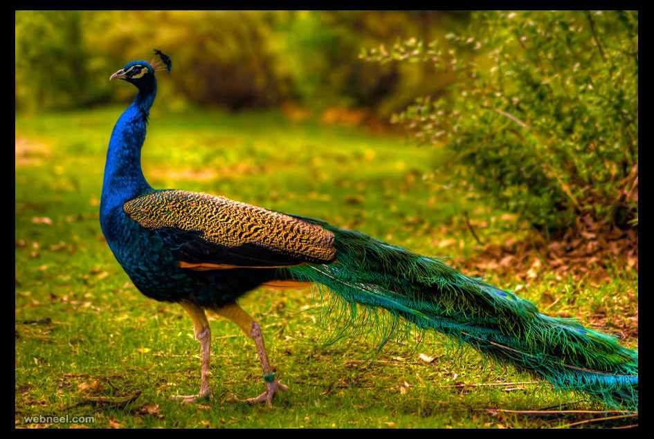 beautiful peacock picture by qels