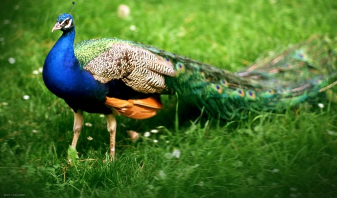 beautiful peacock picture