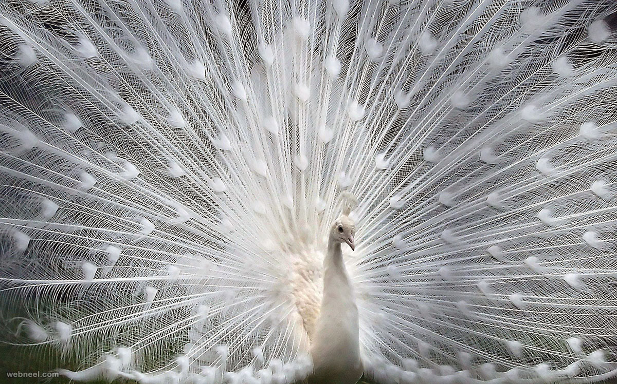 white peacock picture