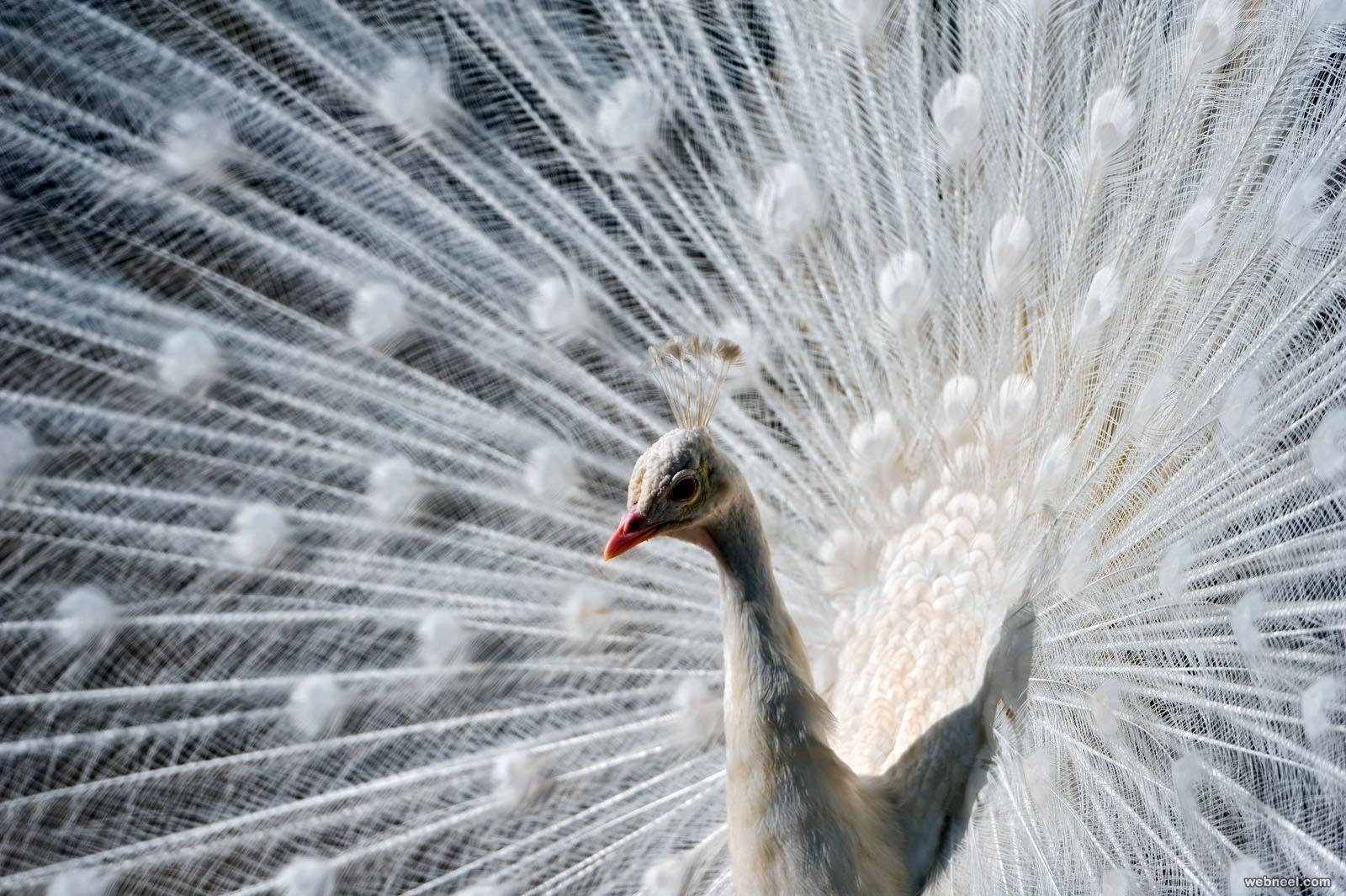 white peacock photo