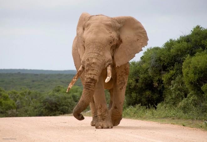 africa elephant wildlife photography by piccaya