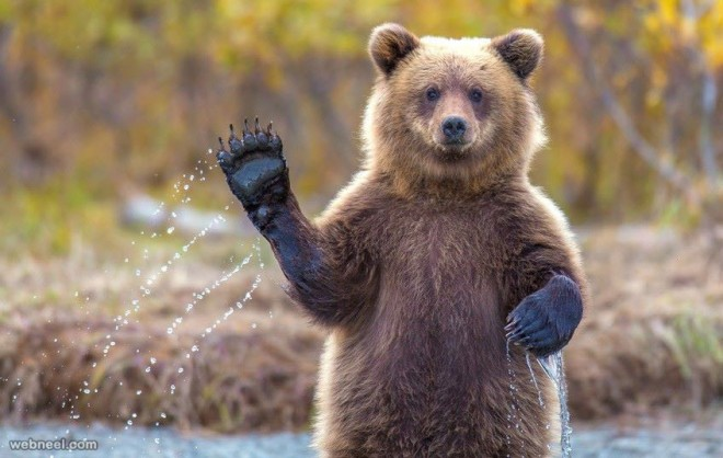bear perfect wildlife photography