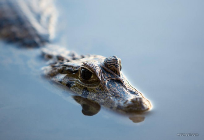 crocodile wildlife photography by piccaya
