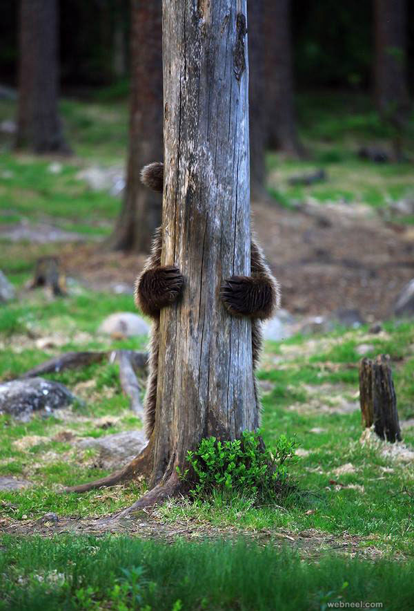 bear funny wildlife photography