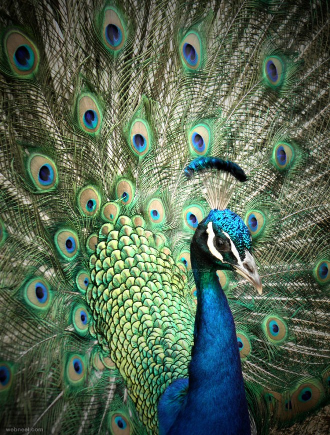 beautiful peacock photo by androidkitteh