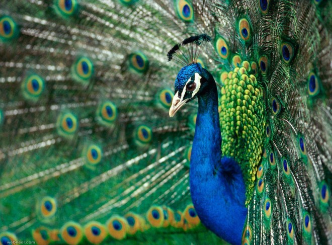beautiful peacock photo