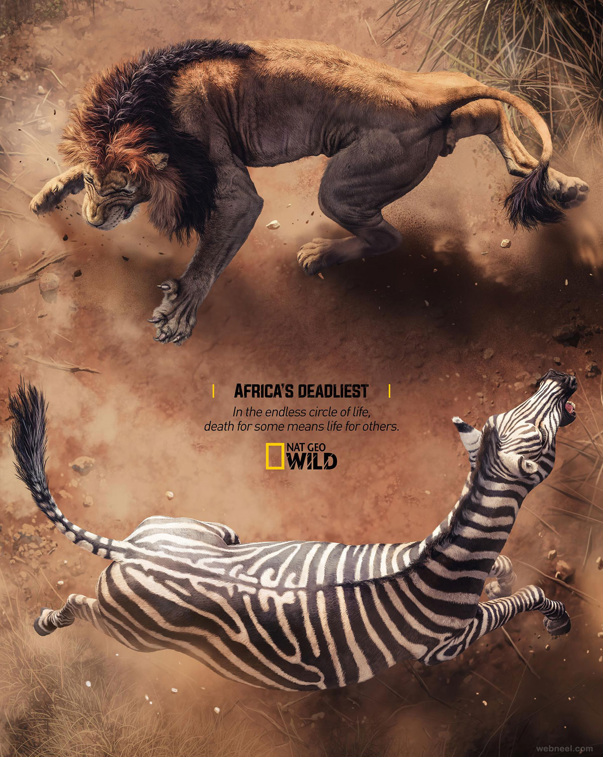 print advertisement lion zebra nat geo