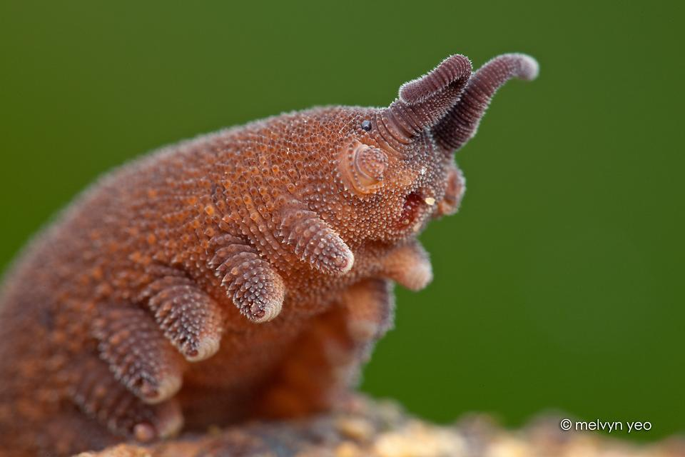 macro photography velvet worm by melvyn yeo