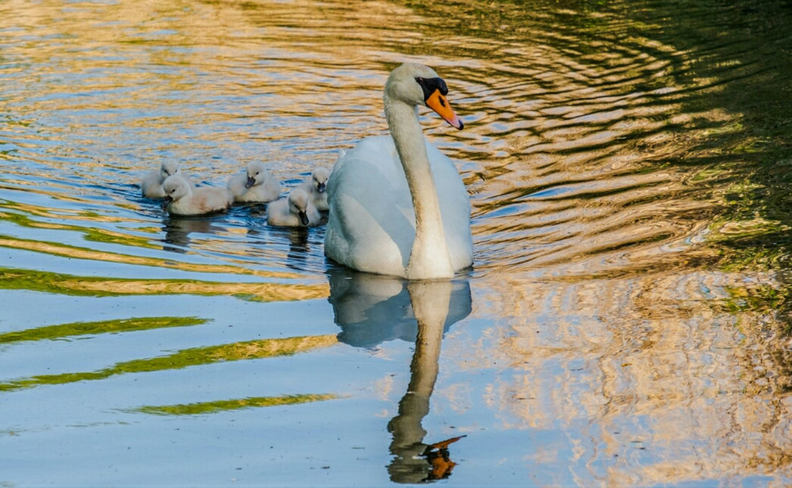 shine light photo swan