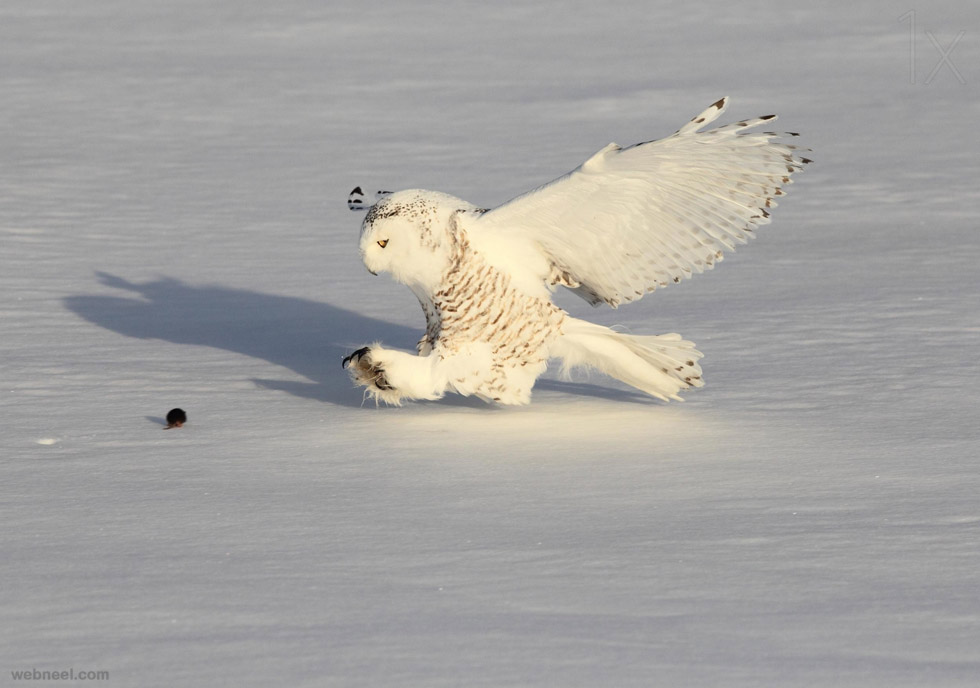 snowy owl mouse photography by akihiroasami