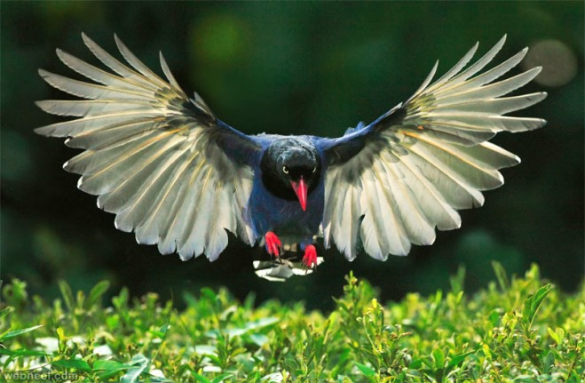 bird photography taiwan blue magpie