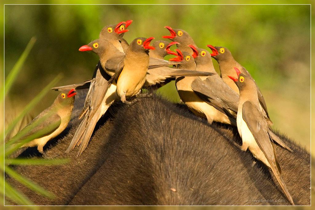 buffalo buffet bird photo by hennie
