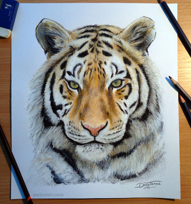 tiger drawing animal