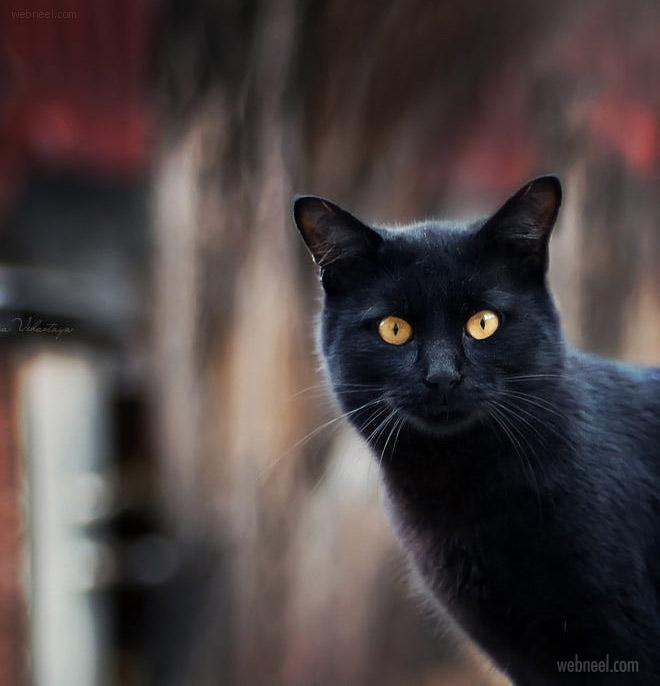 beautiful black cat photo by anna vihastaya