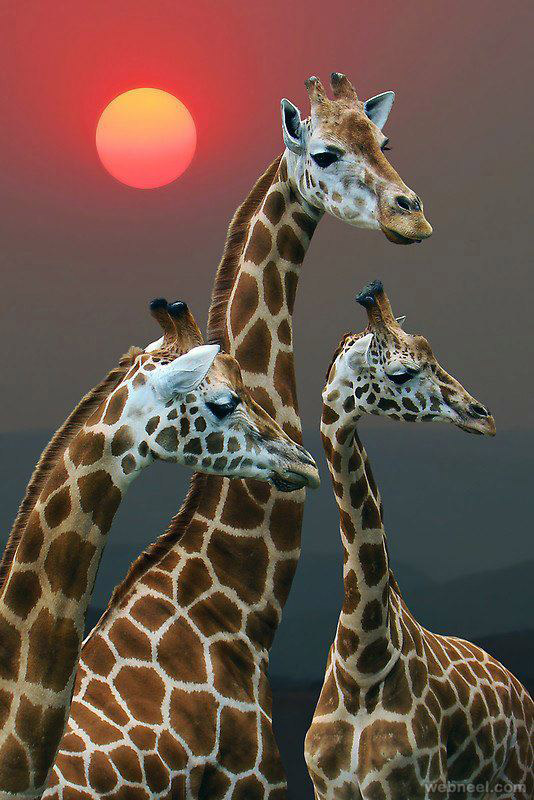 giraffe wildlife photography