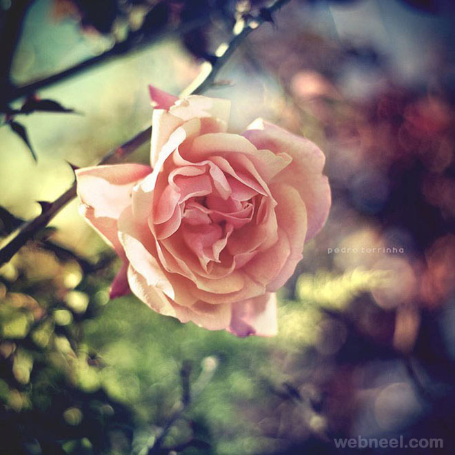rose nature photography