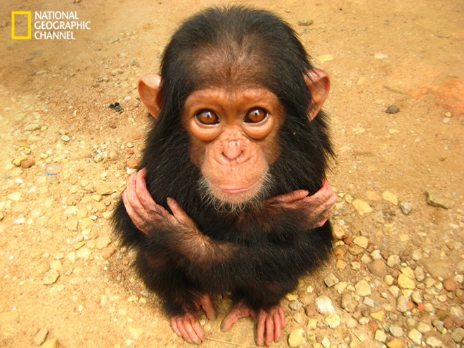 a stoic pose chimpanzee wildlife photography