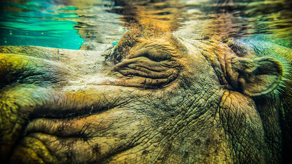 19-hippo-nature-photography-by-richard-jones