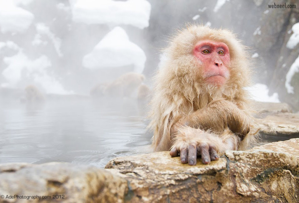 wildlife photography snow monkey by adesan
