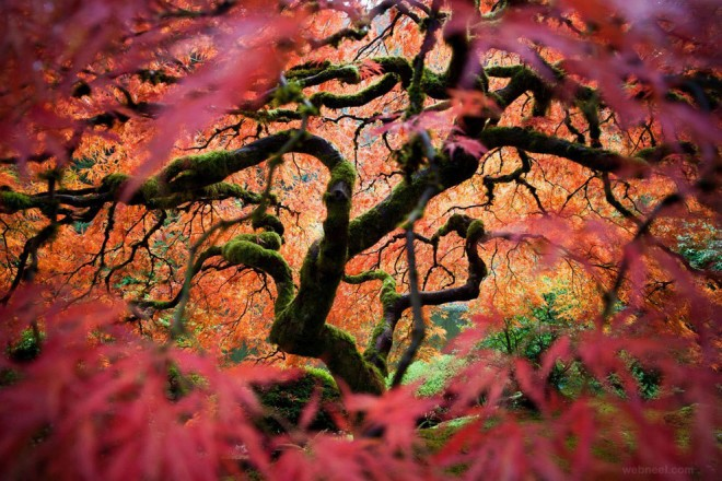 nature photography maple tree portland