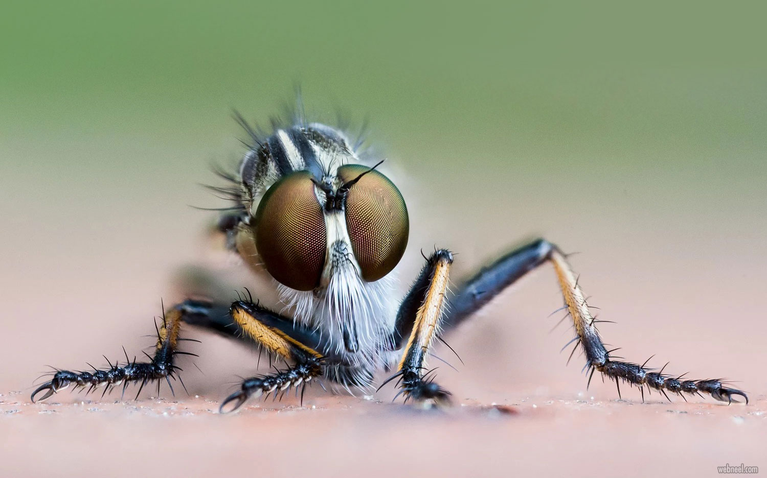 macro photography robberfly by oliver wright
