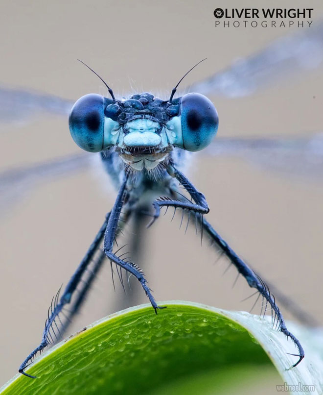 macro photos damsel by oliver wright
