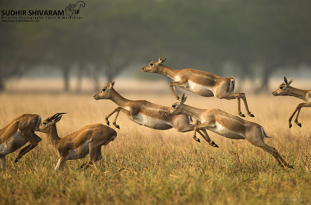 wildlife photography deers by sudhir shivaram