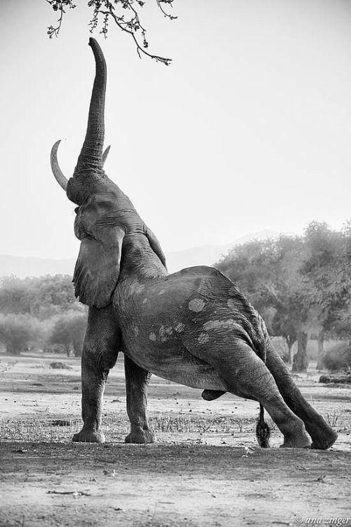wildlife photography elephant stretching