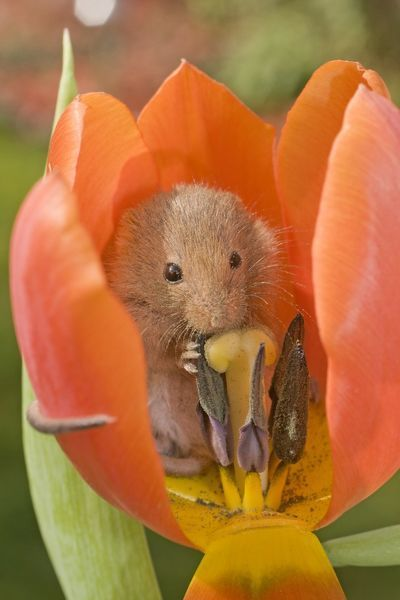 wildlife photography mouse by ardea