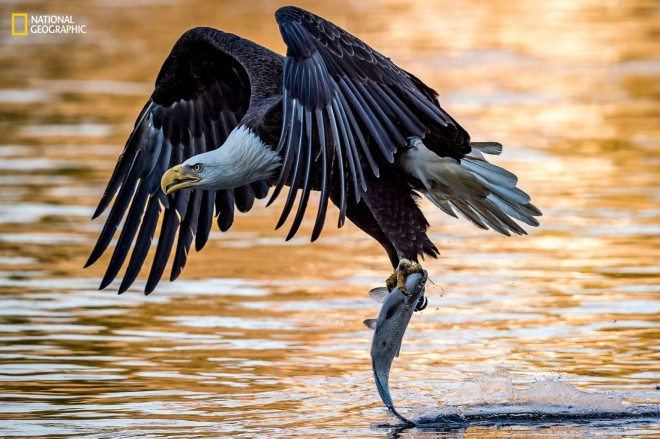 eagle prey wildlife photography by national geographic