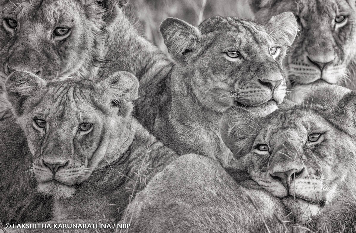 1-lioness-natures-best-award-winning-photography-by-lakshitha-karunarathna