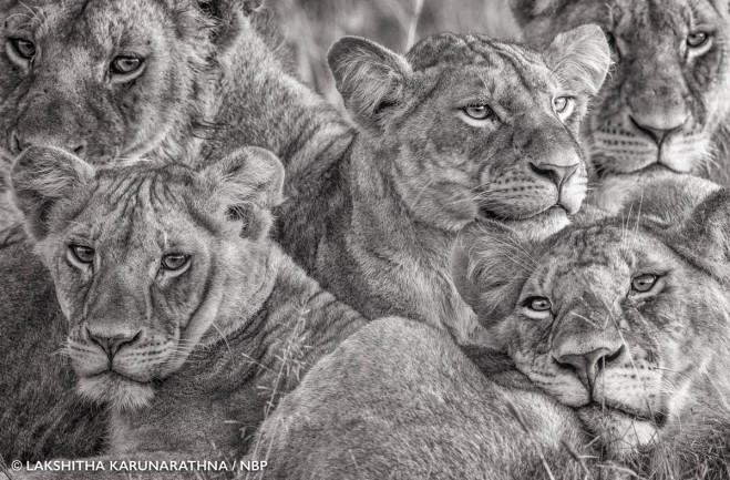 lioness natures best award winning photography by lakshitha karunarathna