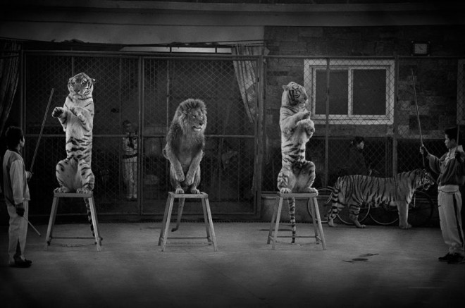 circus wildlife photography by britta jaschinski