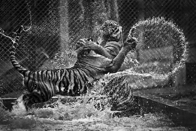 tiger fight wildlife photography by daniel